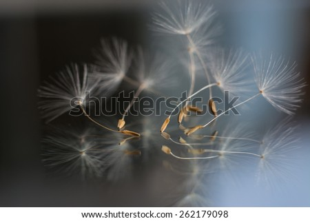 Dandelion seeds.  - stock photo