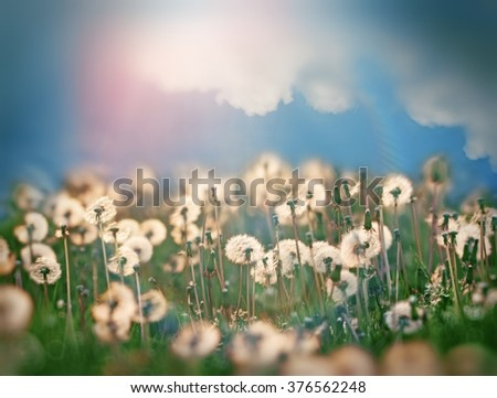 Dandelion seeds and beautiful sky with clouds in spring, in meadow - stock photo