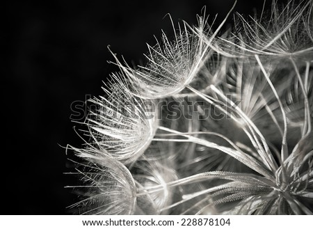 Dandelion seeds in a black background  - stock photo