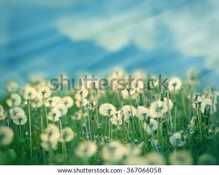 Dandelion seeds in meadow - stock photo