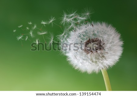 Dandelion seeds in the morning mist blowing away across a fresh green background - stock photo