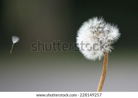 Dandelion seeds in the morning sunlight blowing away