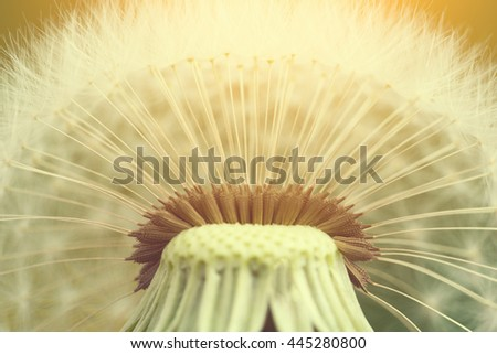 Dandelion seeds in the morning with sunlight - stock photo