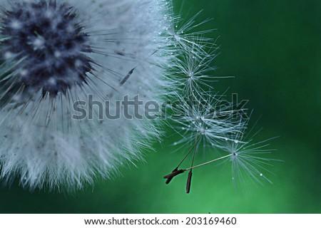 dandelion seeds macro - stock photo