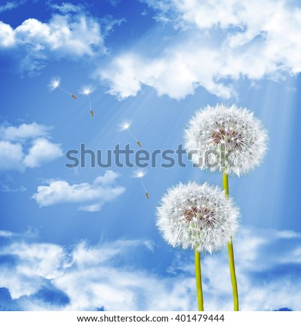 dandelion seeds on a blue sky. White flower - stock photo