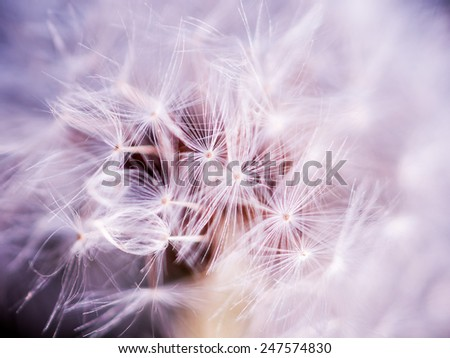 Dandelion seeds on high key image - stock photo