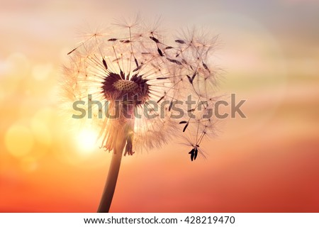 Dandelion silhouette against sunset with seeds blowing in the wind - stock photo
