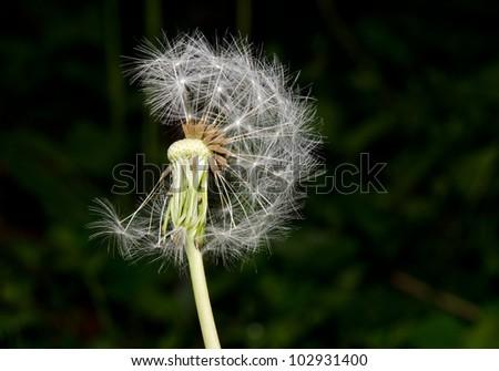 dandelion spreading seeds - stock photo