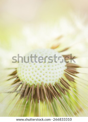 Dandelion spring flower background ( asteraceae )  - stock photo