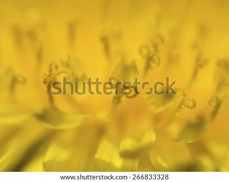 Dandelion spring flower background ( asteraceae )  - stock photo