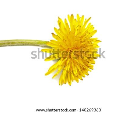 Dandelion (Taraxacum) flower - stock photo