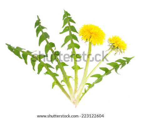 Dandelion (Taraxacum officinale) leaves and flowers for salad - stock photo
