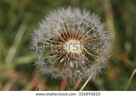 Dandelion (Taraxacum officinale) - seed head