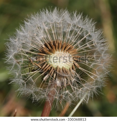 Dandelion (Taraxacum officinale) - seed head.