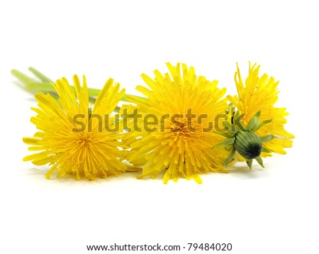 dandelion - taraxacum on a white background - stock photo