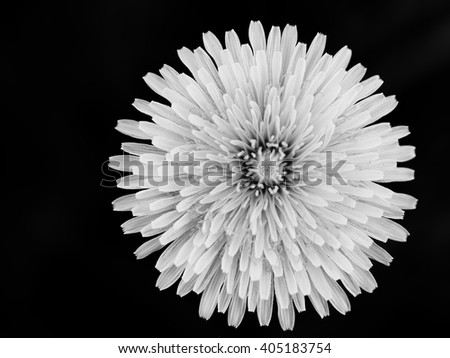 Dandelion tranquil abstract closeup art background / first gentle spring young beautiful herbal alternative medicine flowering / white softness pappus healing herb,  copy paste - stock photo