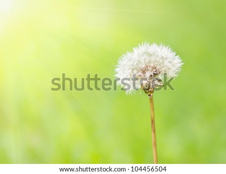 Dandelion under sun rays against a background of green blured lawn - stock photo