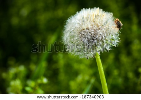 Dandelion white in daylight