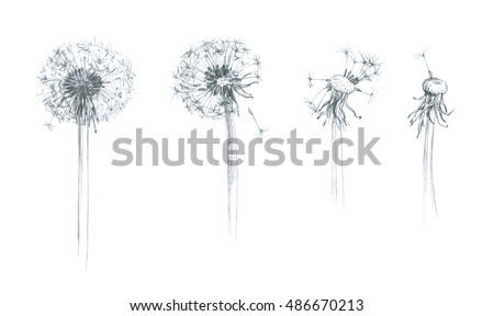 Dandelion - wild flower - hand pencil drawing