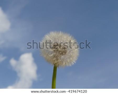 dandelion with backround sky - stock photo