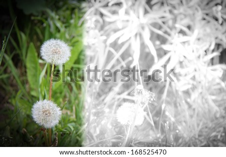 Dandelion.  With copy space - stock photo
