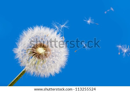 dandelion with flying seeds - stock photo