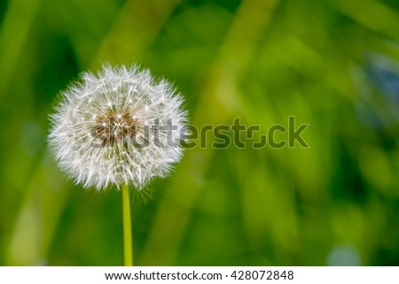 Dandelion with green Background - stock photo
