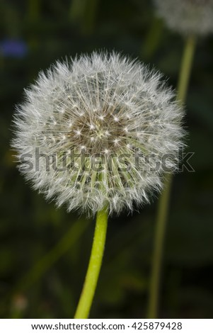 Dandelion with ripe seeds on bokeh background, macro, selective focus, shallow DOF - stock photo