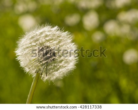Dandelion with ripe seeds on bokeh background, macro, selective focus, shallow DOF