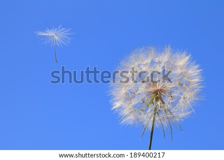 Dandelion with seed blowing away in the wind across a clear blue sky