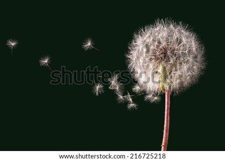 Dandelion with seeds blowing - stock photo