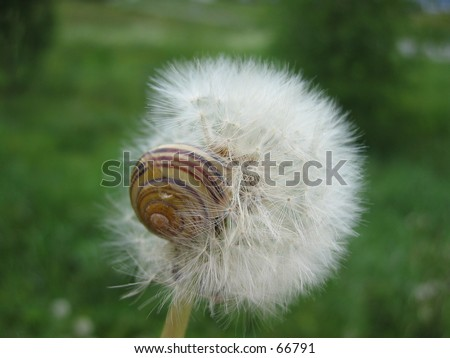 Dandelion with snail.