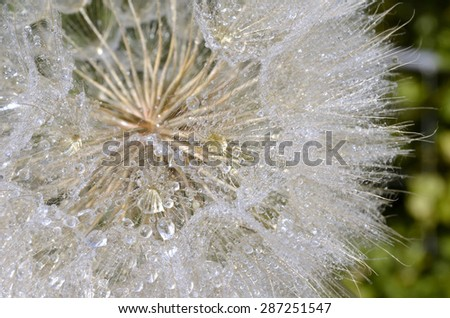 Dandelion with water drops closeup