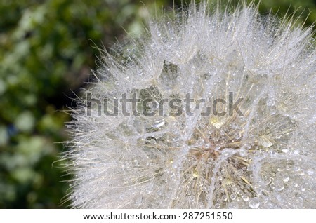 Dandelion with water drops closeup - stock photo