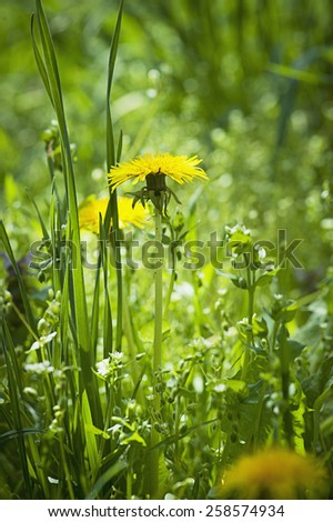 Dandelion yellow flower growing in spring time on the green grass - stock photo