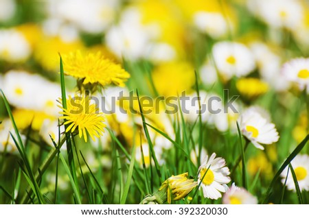 Dandelion yellow flowers and daisy growing on the meadow in spring time on the green grass, natural seasonal background - stock photo