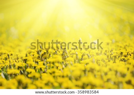 Dandelion yellow flowers growing on the meadow in spring time on the green grass with sun rays - stock photo