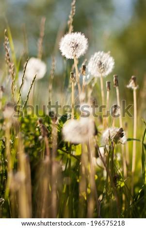 dandelions - stock photo