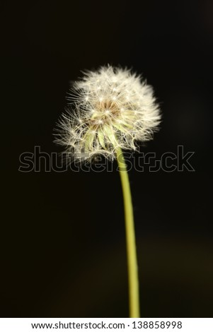 Dandelions alone on a black background