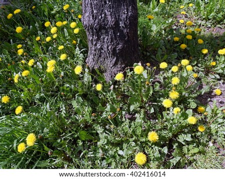 Dandelions around a tree trunk