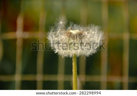 Dandelions blooming in a field - stock photo