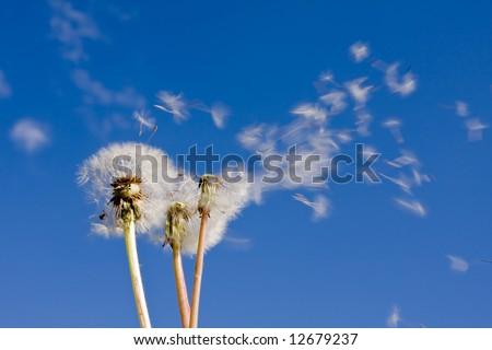 White Dandelion Flower Blowing in The Wind Dandelions Blowing in The Wind