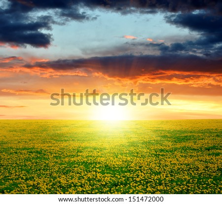 dandelions field in the sunset  - stock photo