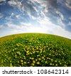 dandelions field in the sunset - fisheye shot - stock photo