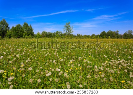 dandelions flower meadow at summer time - stock photo