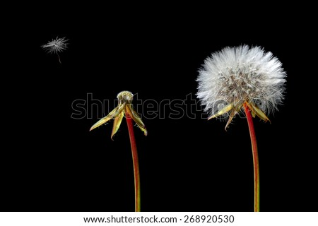 Dandelions -  fluffy, naked and  lonely flying seed on the black background - stock photo