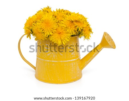 dandelions in a watering can isolated on white background - stock photo
