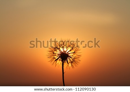 Dandelions in meadow at red sunset - stock photo