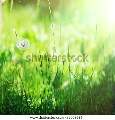 dandelions in spring farm field. close up - stock photo
