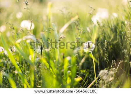 dandelions in the field among the grass, close-up